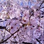 お花見延期のお知らせ(´;ω;`)